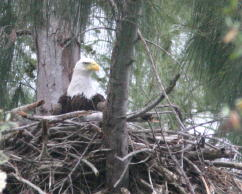 Eagle at Nest