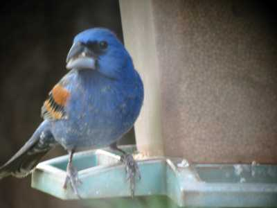 Blue Grosbeak at feeder