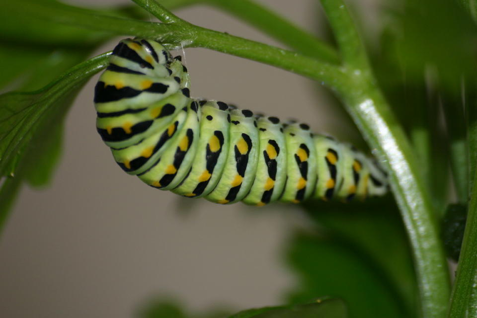 July 13 Late Instar Nearing Pupal Stage