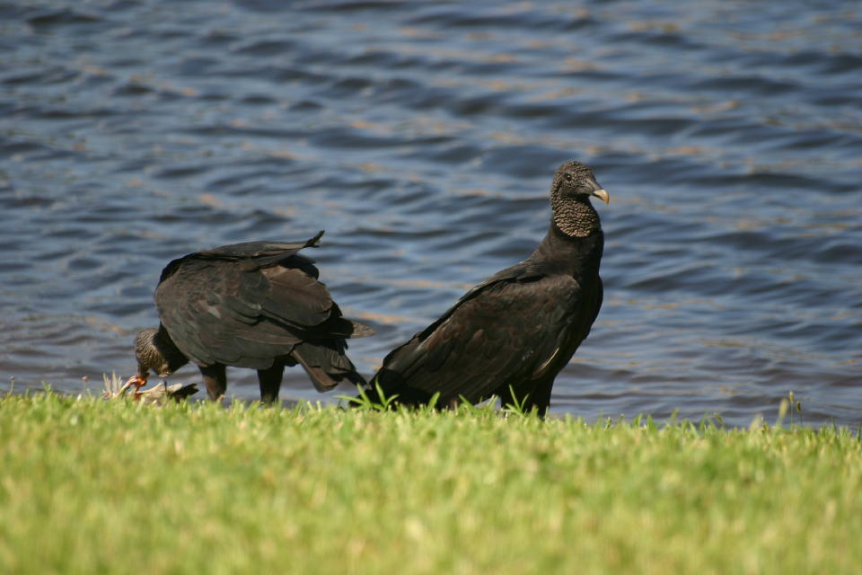 Black Vultures at White Ibis carcass