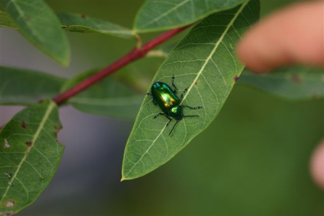 Dogbane Beetle
