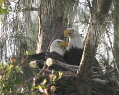 Eagle pair at nest
