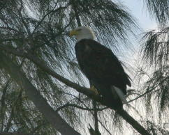 Eagle Stands Guard