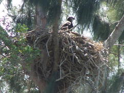 Eaglet in Nest March 15, 2008