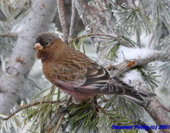 Adult Male Brown-capped Rosy-finch