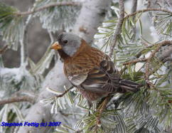Adult Coastal Gray-crowned Rosy-finch
