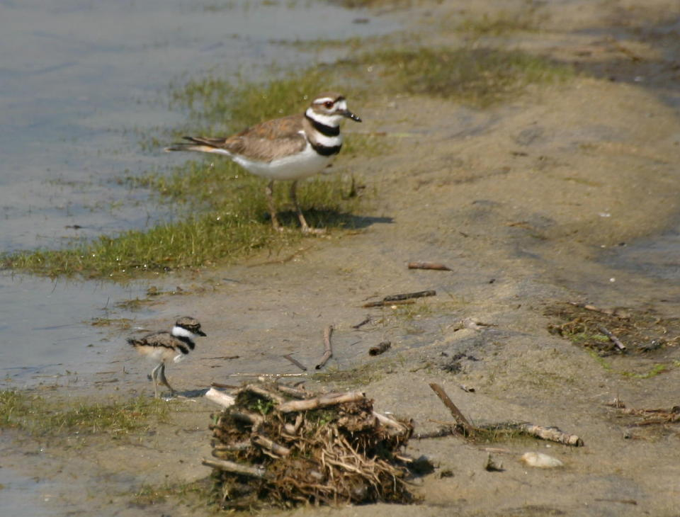Killdeer adult and chick