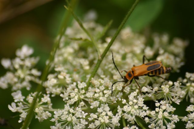 Longhorn Beetle