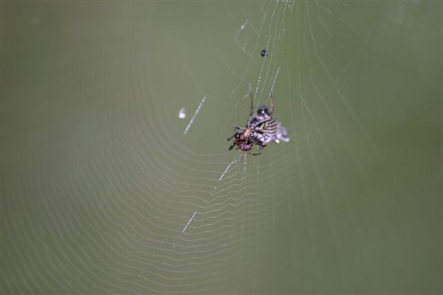 Orb Spider with prey