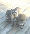 Three Florida Racoons