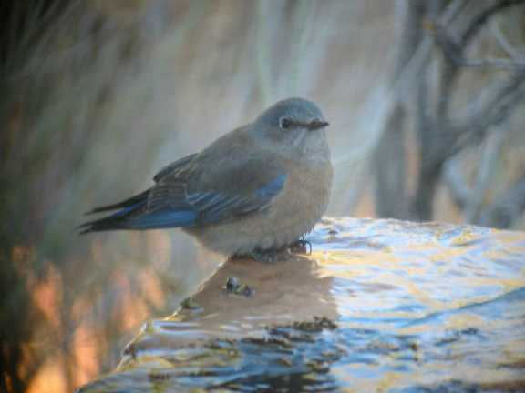 Weatern Bluebird , female