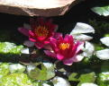 Water Lilies in Front Pond