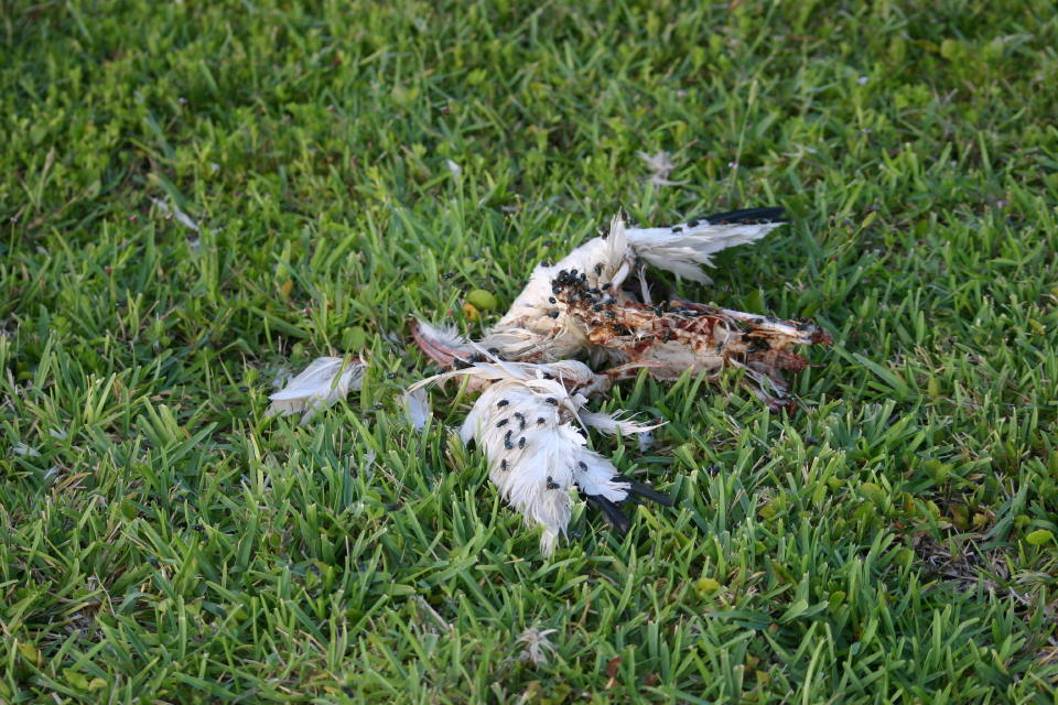 White Ibis remains