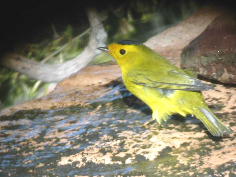 Wilson's Warbler